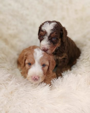 F1b Mini Bernedoodle Puppies- Freddy & Doodles – TAKING DEPOSITS $3k-$5k photo