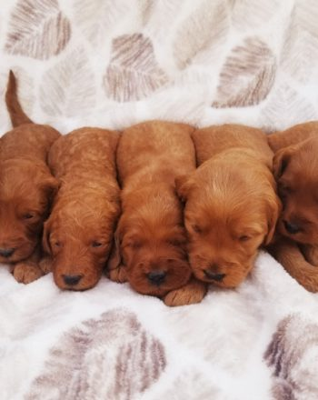 11 Goldendoodle Puppies Born 5.25.20 9th Pick is Available photo