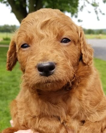 Girl Sherry $2500 Mini F1b Goldendoodle (Phili, PA) photo