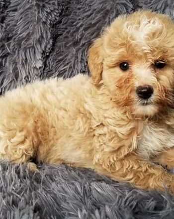 Boy Lyra $4000( micro goldendoodle)Pup in Philli, Pa photo