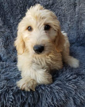 Girl Ellie ( Standard Goldendoodle) $3000 photo