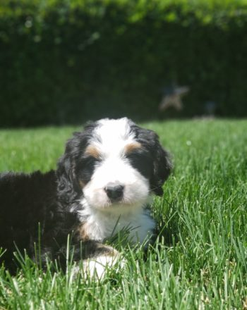 SOLD – Puppy Girl Pink $4500 Standard Bernedoodle (SLC, UT) photo
