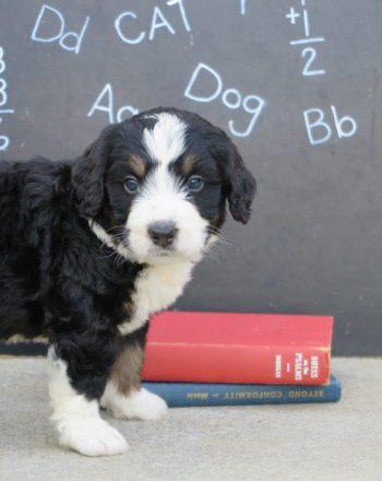 Boy Einstein $4500 Tri Mini Bernedoodle (Phili, PA) photo