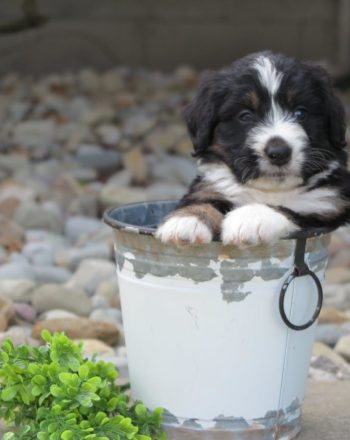 Boy Rocky $4000 Tri Mini Bernedoodle (Phili, PA) photo