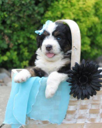 SOLD – Girl Aqua $5500 Tri Mini Bernedoodle (Phili, PA) photo