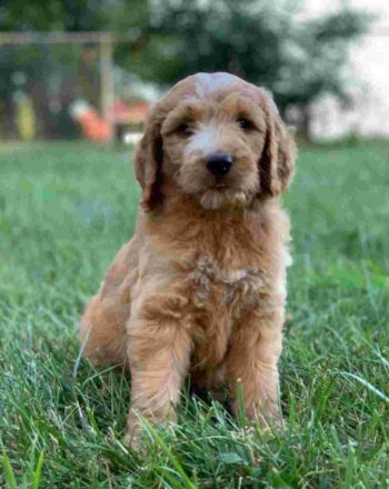 SOLD Boy Spot $2500 Standard Goldendoodle (Phili, PA) photo