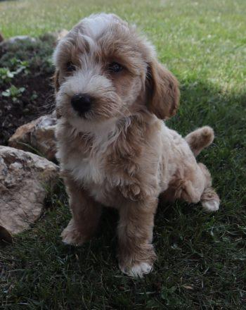 Boy Kirby $3500 Mini Goldendoodle (Phili, PA) photo