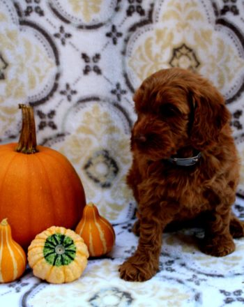Girl Trixie $3500 Mini Goldendoodle (In Honey Brook PA) photo