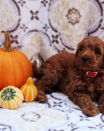 Boy Gus $3500 Mini Goldendoodle (In Honey Brook PA) photo
