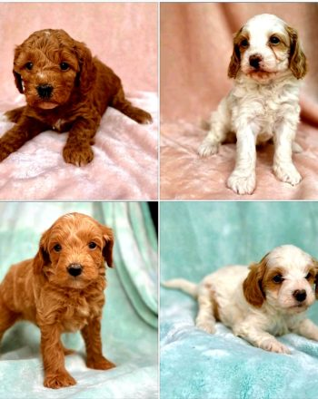 Just 5 Adorable Cavapoos Left: Available Now $3500 photo
