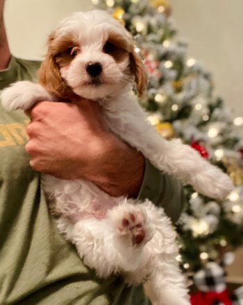 Boy Sky (Cavapoo f1b) Available Now $3000 photo