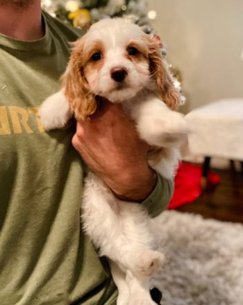 Girl April (Cavapoo f1b) Available Now $3000 photo