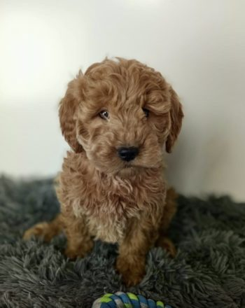 Boy Willy (Mini Goldendoodle) $3000 Available Now! photo