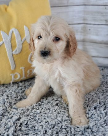 Boy  Disney $3000 (Mini Goldendoodle) photo