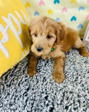 Boy Kanga (Mini Goldendoodle) $3000 photo