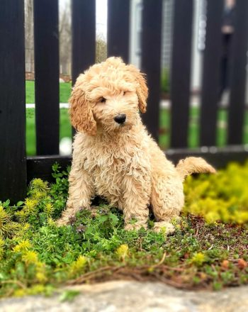 Girl Aria (Standard Goldendoodle) $2500 (PA) photo